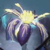 Iribaarslilie ~ Iribaar's Lily ~ Лилия Ирибаара